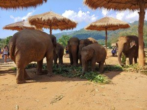 Elephants in Thailand: Elephant Nature Park